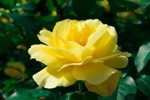 rose20160729